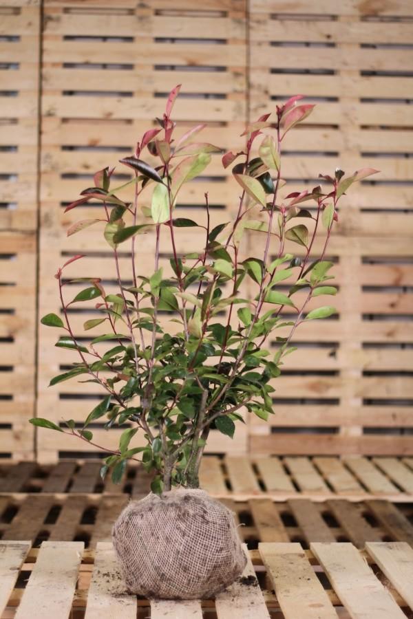 haagplanten heijnen